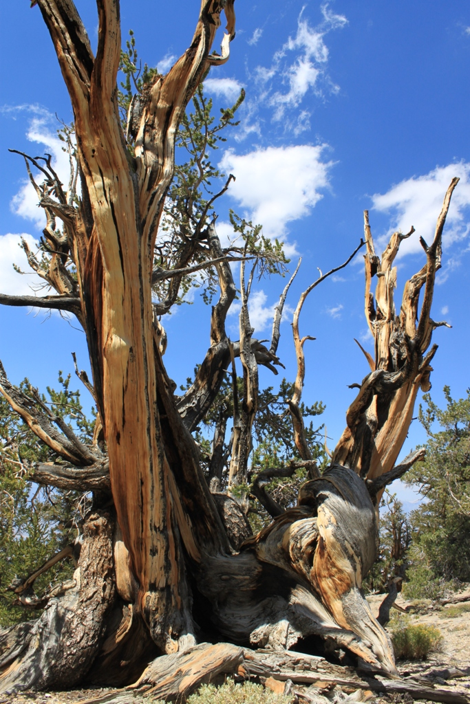 Bristlecone Pine Forest Aug 2012 #10