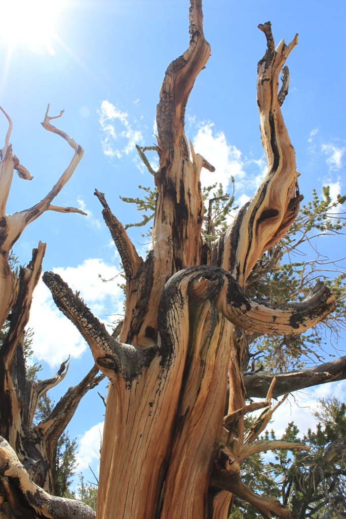 Bristlecone Pine Forest Aug 2012 #12