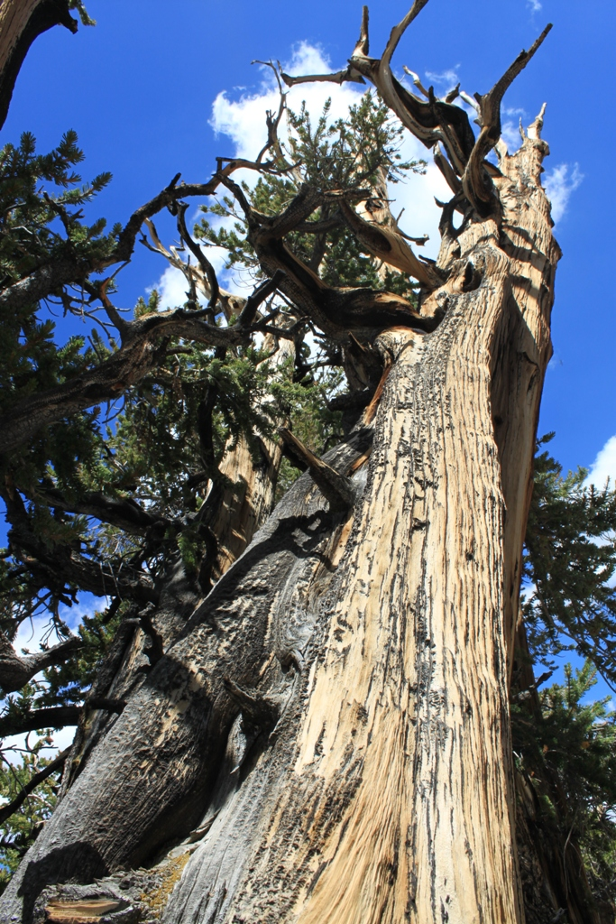 Bristlecone Pine Forest Aug 2012 #17