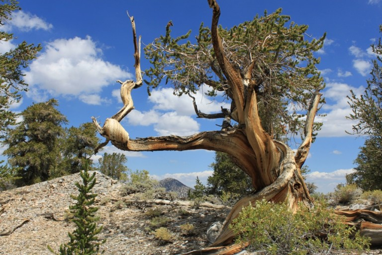 Bristlecone Pine Forest Aug 2012 #42