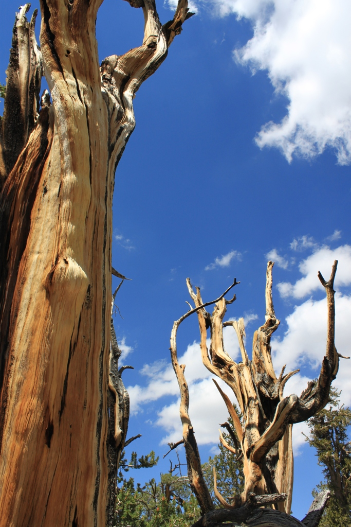 Bristlecone Pine Forest Aug 2012 #9