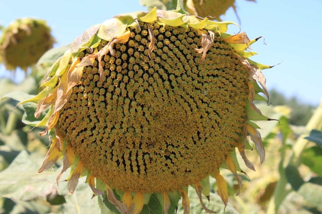 Sunflowers Aug 2013 #1