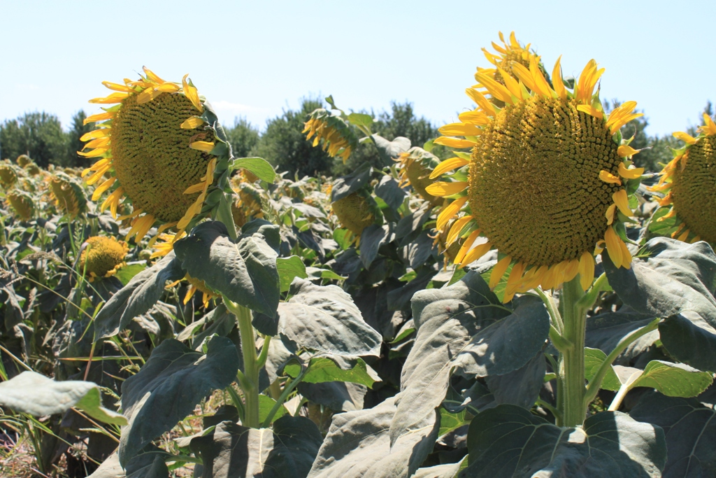 Sunflowers Aug 2013 #12
