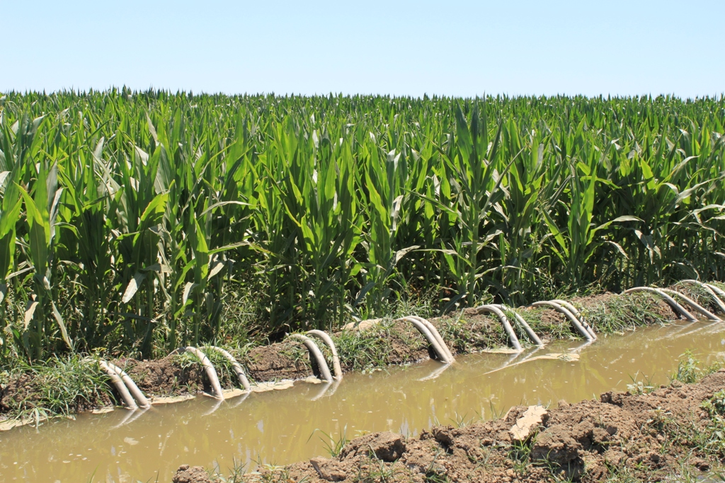 Central Valley corn field July 2013 #2