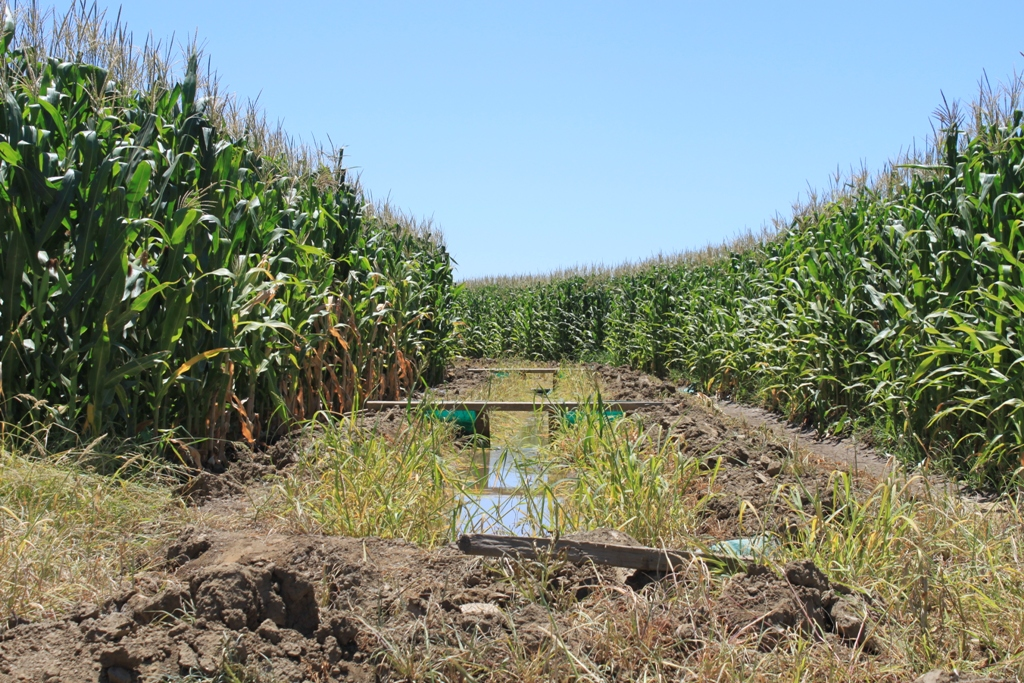 Central Valley corn field July 2013 #5