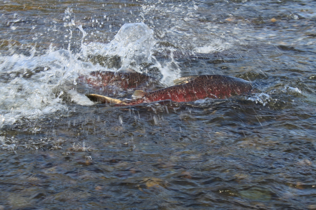 Salmon, American River, Nov 2013 #3