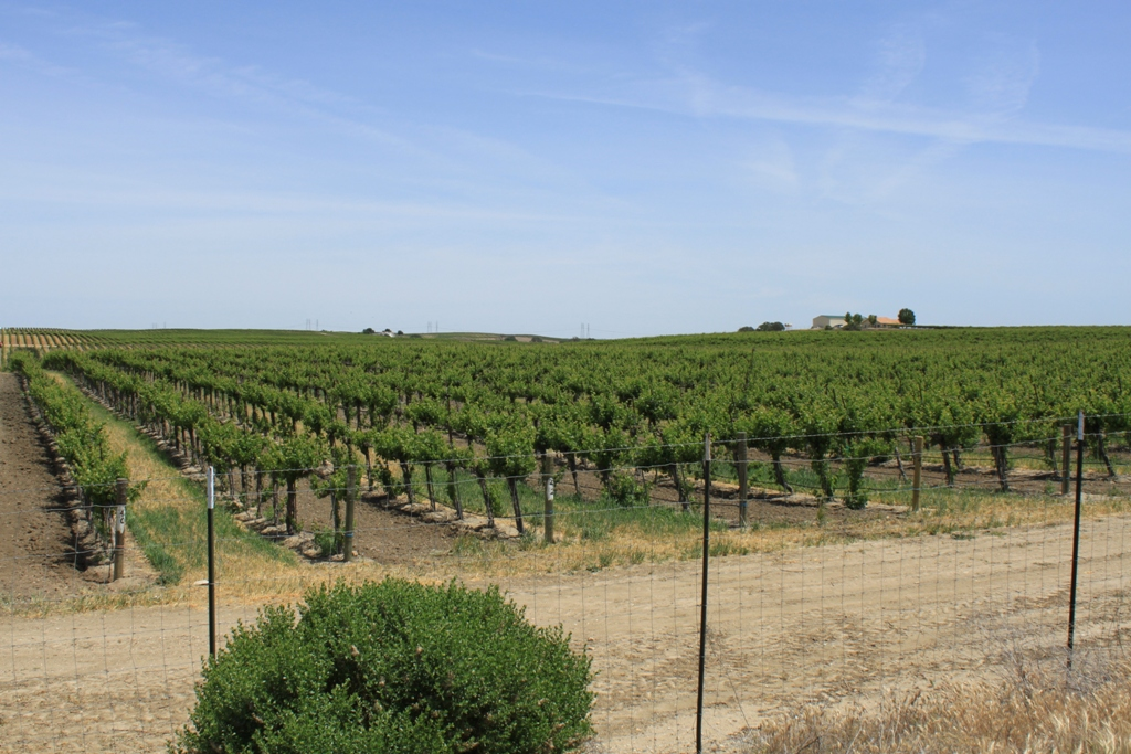 Paso Robles grapevines May 2014 #1