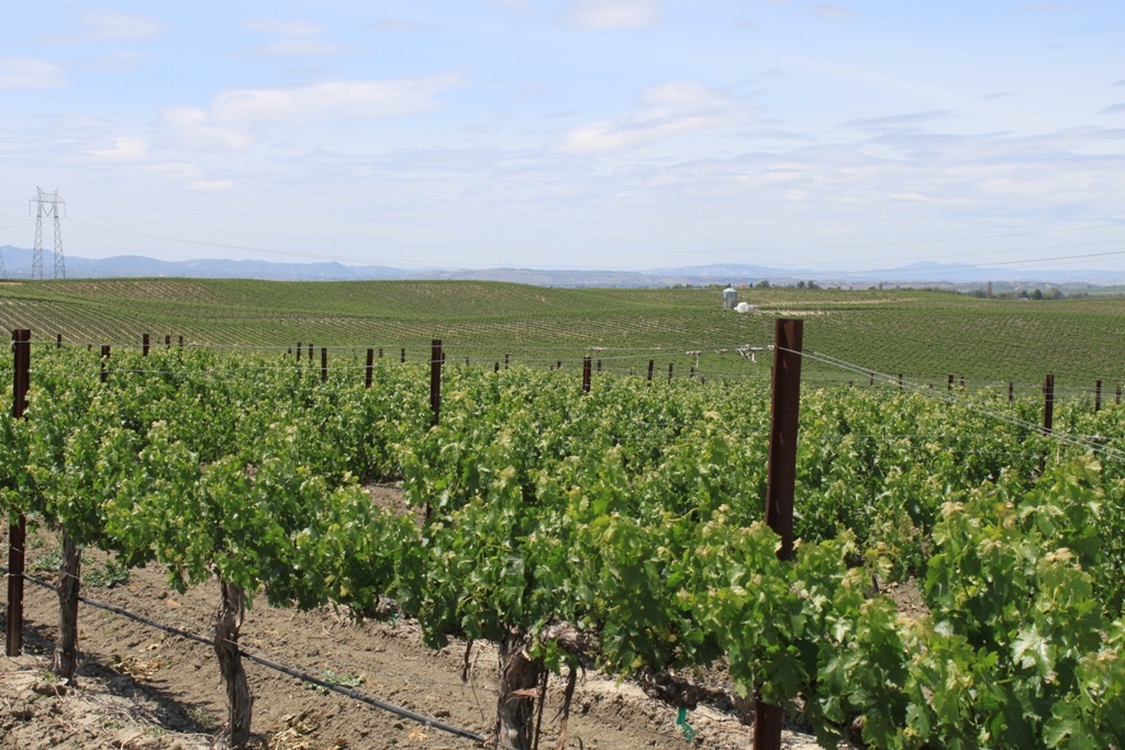 Paso Robles grapevines May 2014 #11