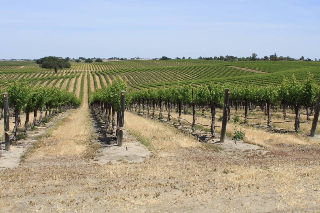 Paso Robles grapevines May 2014 #14