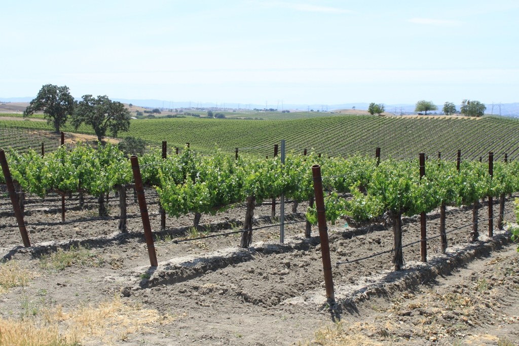 Paso Robles grapevines May 2014 #20