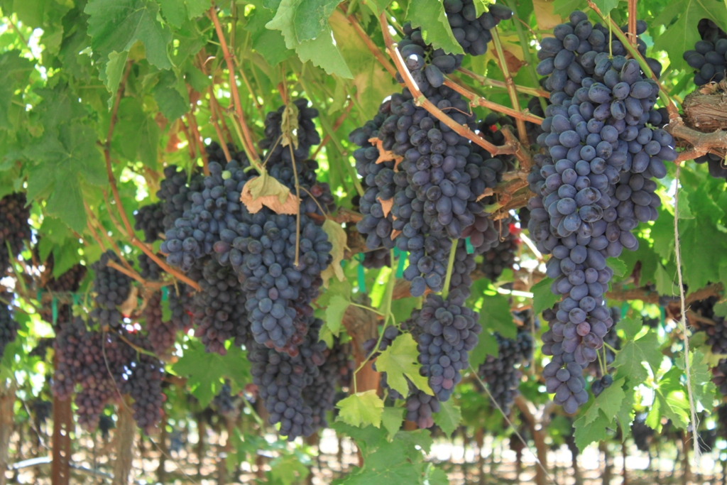13 Harvesting grapes