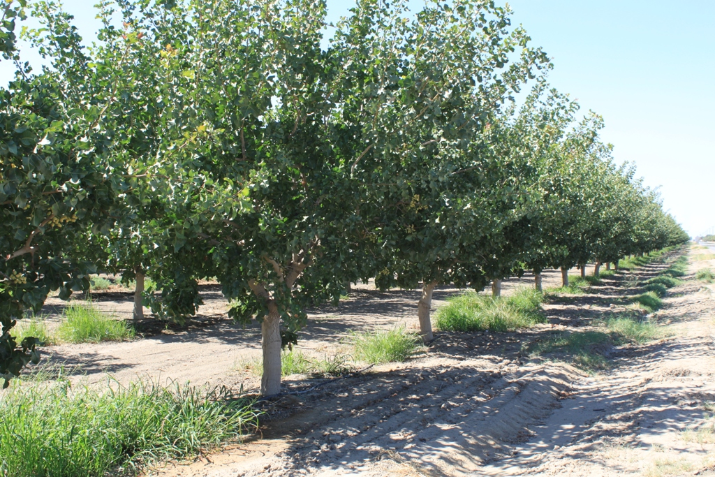6.5 Kern County orchard