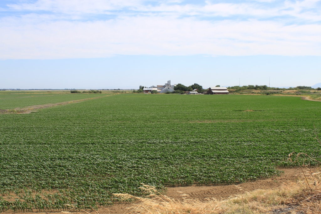 Delta field and farm June 2013 #7