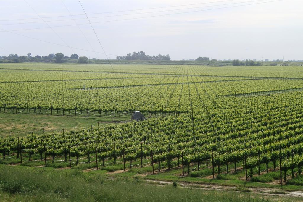 Delta grapevines Apr 2014 #1