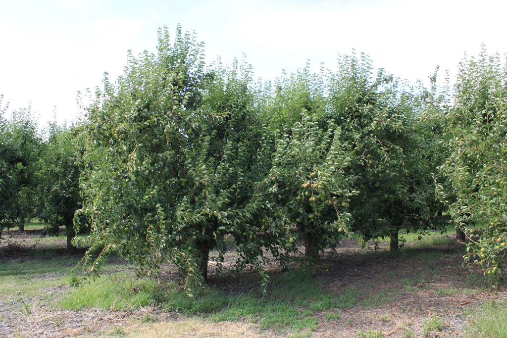 Delta pear trees June 2013