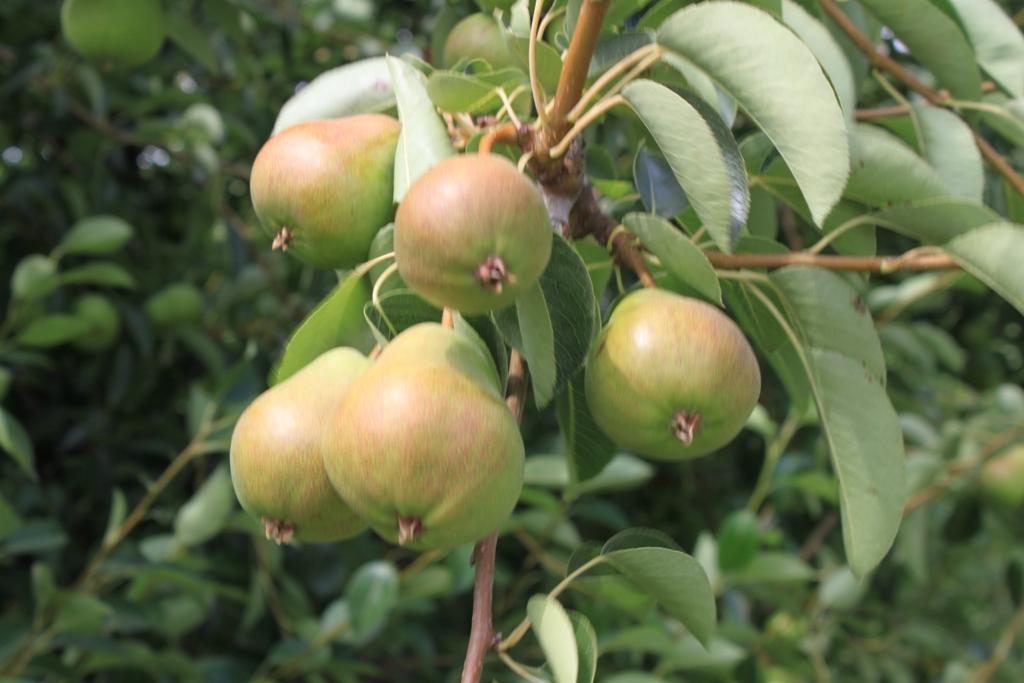Delta pears, ripening June 2013