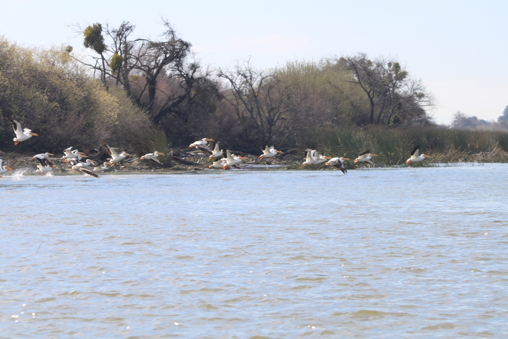 Birds in the Delta Feb 2016 #2